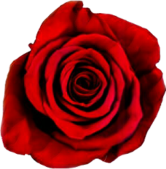 rose nature dark red beautiful