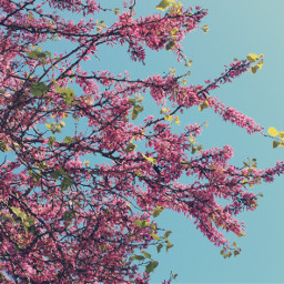 nature bloomingtree branches blueskybackground naturephotography